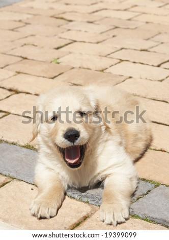 Small obedient golden retriever puppy lying on the pavement. Focus is on paws