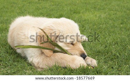 Small obedient golden retriever puppy sleeping on the green grass holding a plant in his paws. Focus is on the front paw