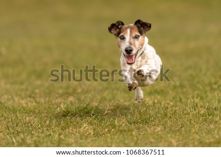 small old dog runs and flies over a green meadow in spring - Jack Russell Terrier Hound 10 years old #1068367511