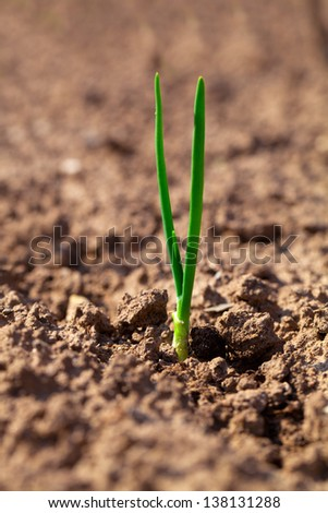 small onion growing in soil