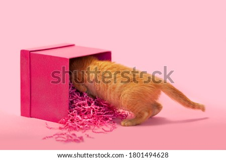 Small orange kitten playing mischief in pink gift box, pink background. Stock photo ©