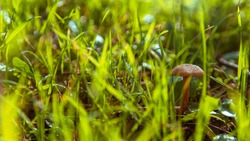 Small orange mushroom Rickenella fibula growing in the moss. Also known as Omphalina fibula. Inedible wild mushroom.