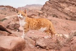 Small orange stray cat walking on red rocks, mountainous landscape background