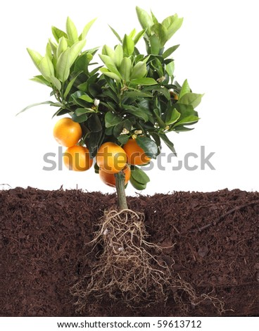 small orange tree isolated on white with root in dirt
