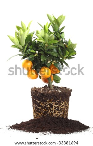 small orange tree with roots  isolated on white