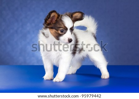 Small Papillon Puppy on a blue background - stock photo