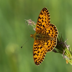 Small pearl-bordered fritillary or Silver-bordered fritillary (Boloria selene) is an orange butterfly spotted with black. Butterfly from Europe and North America, wild fauna of France. Open wings