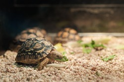 Small pet tortoise eating lettuce in a pet shop tank
