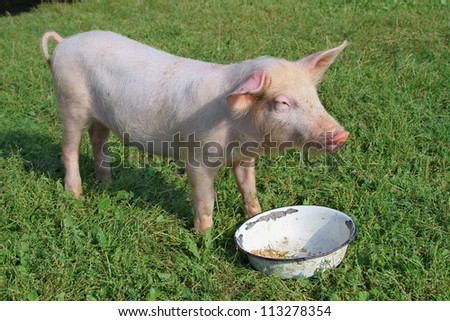 Small pig on a green grass