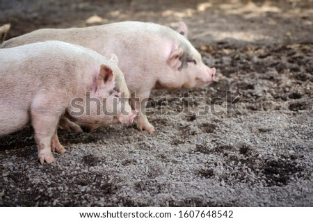 small pig with other pig behind
