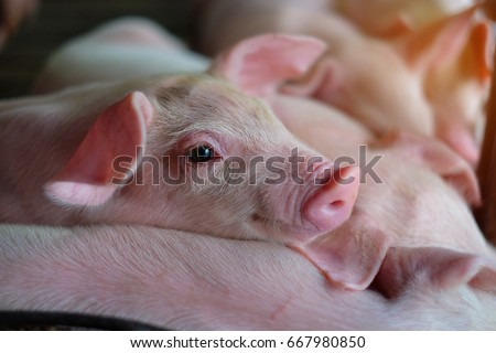 Small piglet sleep in the farm. Group of Mammal indoor waiting feed. swine in the stall. Close up eyes and blur. - Shutterstock ID 667980850