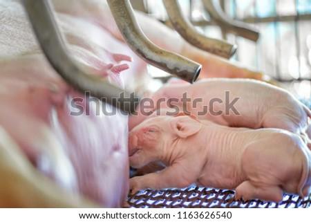 small piglet sucking milk from...