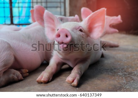 Small piglet tongue show in the farm. Group of Mammal indoor waiting feed. swine in the stall. Close up and blur. - Shutterstock ID 640137349