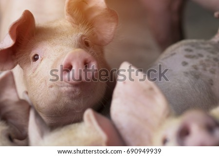 Small piglet waiting feed in the farm. swine in the stall. Close up eyes and blur. Portrait animal.