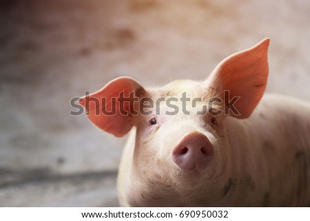 Small piglet waiting feed. Pig indoor on a farm yard in Thailand. swine in the stall. Close up eyes and blur. Portrait animal. - Shutterstock ID 690950032