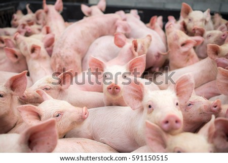 small pigs at the farm,swine in the stall. Meat industry. #591150515