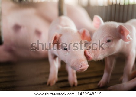 Small pigs at the farm,swine in the stall. Meat industry. piglets newborn with mother pigs eating milk. Photo stock ©