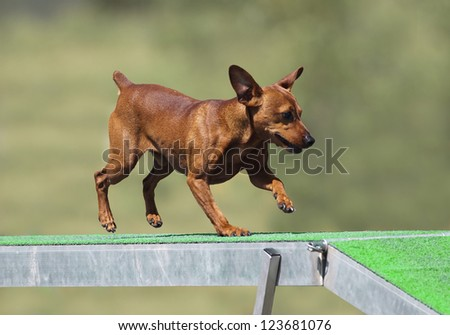 Small pincher running on the agility ramp