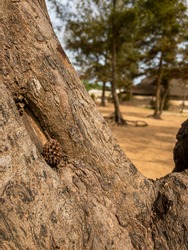 Small pine cone in the small hollow of a conifer trunk