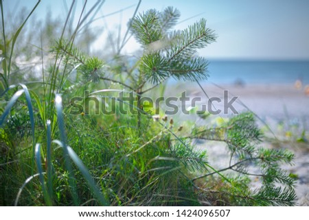 Small pine in green grass on sandy beach of the Baltic sea. Seaside resort at warm summer day on Baltic sea. Small DOF photography at open aperture.