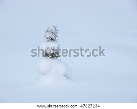 Small pine tree covered with snow, single object