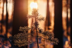 Small pine tree growing in the forest is illuminated by the sun at daybreak