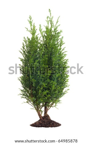 Small pine tree isolated on white