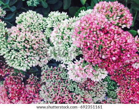 Free Photos Small Pink White Flowers Cluster In Bloom Avopix