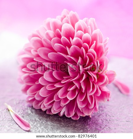 small pink chrysanthemum with petals