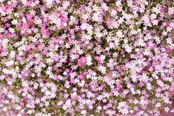 small pink flowers background in summer