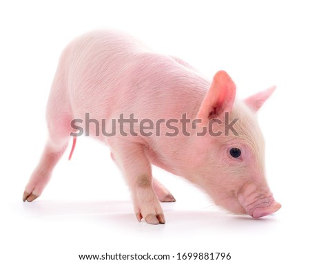Small pink pig who is isolated on white background. Photo stock ©