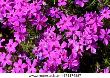 Small Pink Spring Flowers Closeup Photo. Spring Garden