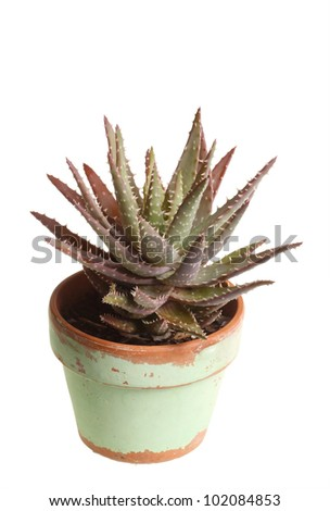 Small plant of an aloe grown in a pot on a windowsill against a white background