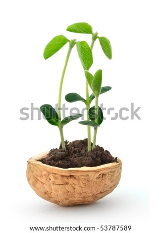 Small plant of soy in a nutshell