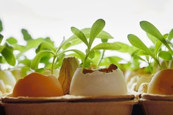 small plants grow in eggshells on a white background horizontal format