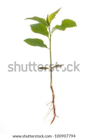 Small plum tree uproot on a white background