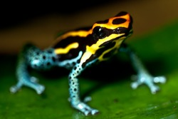 Small poison dart frog, sitting on a leaf