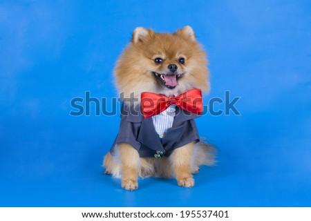 small Pomeranian dog