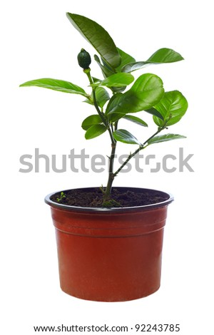 small potted citrus tree plant, isolated on white