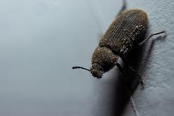 Small predacious ground beetle / strange horned beetle on isolated on back background. Animals wildlife