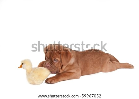 Small puppy of dogue de bordeaux playing with duck toy