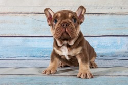 Small puppy of french bulldog on blue background