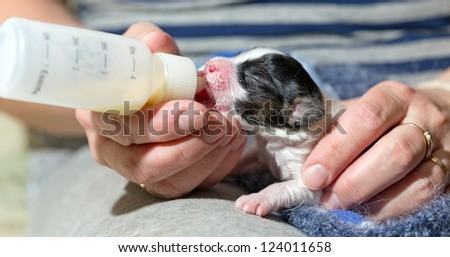 Small puppy Papillon fed of baby bottle