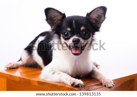 Small pure breed Chihuahua dogs black and tan color