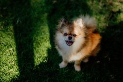 small purebred pomeranian dog fluffy