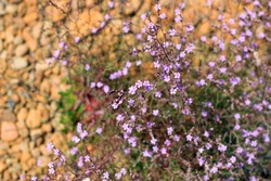 Small purple lake flowers among dry grass or plants , flora of dry landscapes, lake or swamp