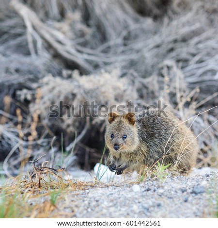 small quokka on hind paws ...