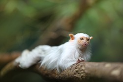 Small, rare rain forest monkey with silvery-white fur, lying on a branch against blurred green background. Direct view. Silvery marmoset, Mico argentatus, eastern Amazon Rainforest, Brazil.