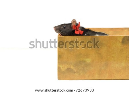 Small rat with a red bow in a box, on a white background