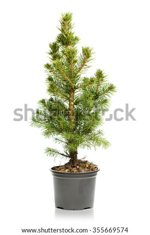 Small, real undecorated bare Christmas tree in a pot isolated on white background #355669574